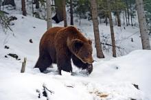 В Кировской области завершается сезон осенней охоты на медведя