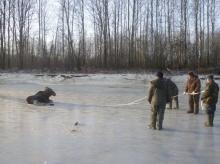 В 2019 году в Кировской области спасли двух лосей