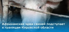Африканская чума свиней на границе Кировской области