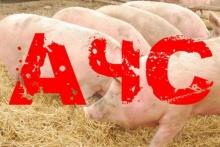 Африканская чума свиней