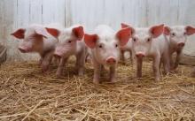 Африканская чума свиней, перепрофилирование.